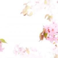 お花見には蜂蜜を サクラハニーの優しさ