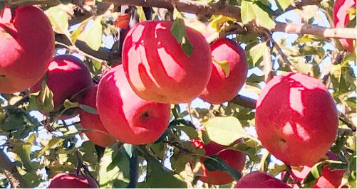 フルーツの収穫